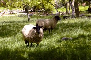 Sheep on the grounds - Briar Patch Inn - Sedona Arizona - Cozy Cabins in Oak Creek Canyon
